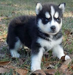 17 Best images about Husky Puppy S | Miniature, Siberian ...