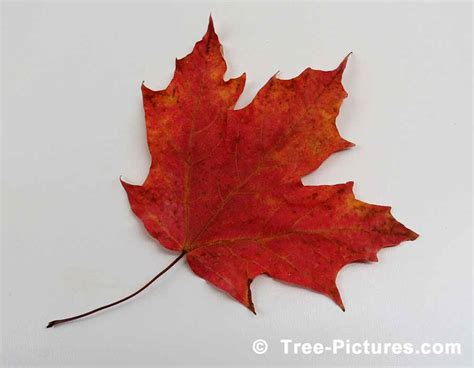 types of maple leaves with pictures maple tree pictures images photos facts on maples trees