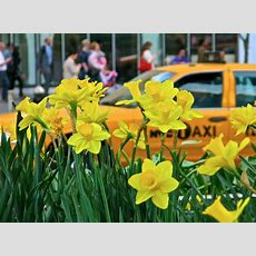 New Yorkers For Parks  The Daffodil Project