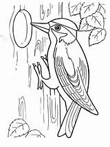 Coloring Pages Woodpecker Birds Woodpeckers Colors Recommended sketch template