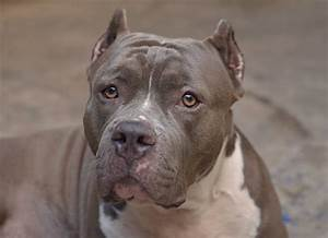 Montreal Passes Controversial Law To Ban Pit Bulls And