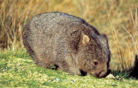 der wombat die tasmanischen