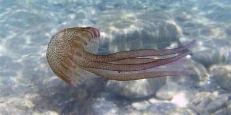 Las medusas matan diez veces más humanos que los tiburones ...