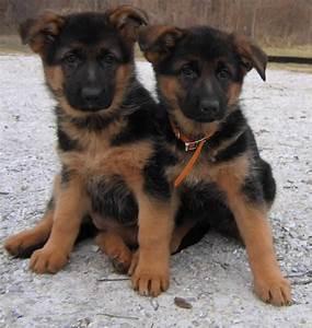Cute Red And Black German Shepherd Puppies Photos ...
