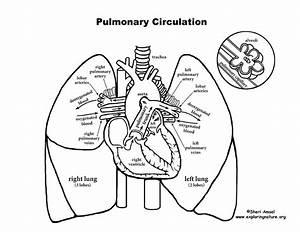 Human Heart Drawing Steps At Getdrawings