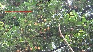 Nutmeg tree irrigation with water sprinkler - YouTube