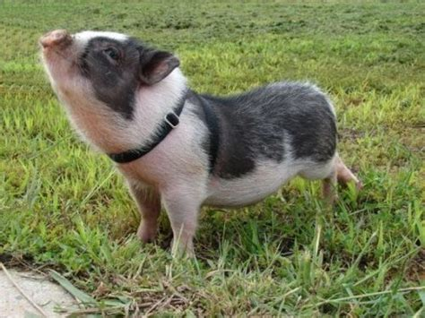 mini pot belly pig mini pot bellied and teacup pigs adoption care and information i love pets