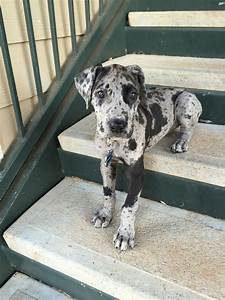 Gypsy Blue, 8 weeks! Great Dane Puppy | Dog Breeds ...