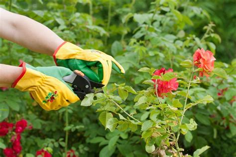 when do you prune roses prune roses everything you need to know