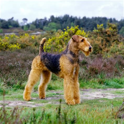 do airedale puppies shed airedale terrier