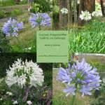 Graines D Agapanthe : graines de fleurs arbustes fleur des tropiques ~ Melissatoandfro.com Idées de Décoration