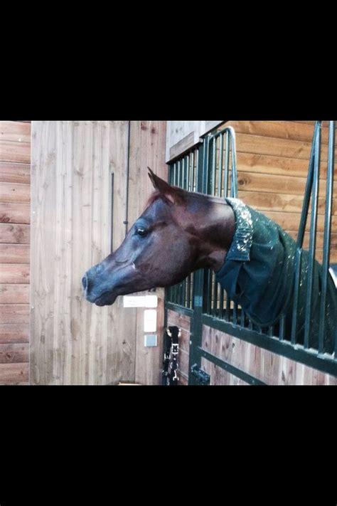 arabian horses giant pjs gentle hanging his horse