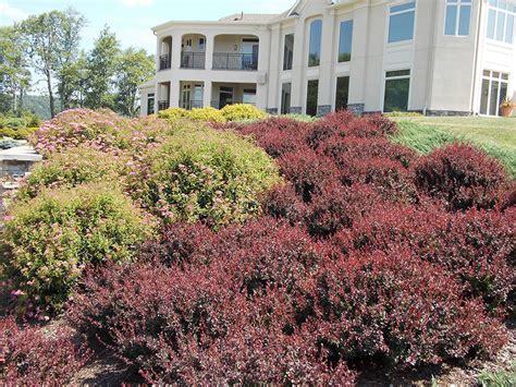 burgundy shrubs and bushes royal red burgundy barberry
