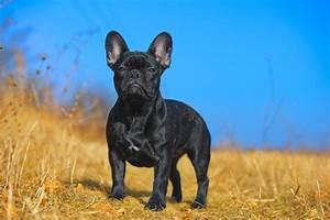 Hundebekleidung Französische Bulldogge : deckr den franz sische bulldogge ~ Frokenaadalensverden.com Haus und Dekorationen