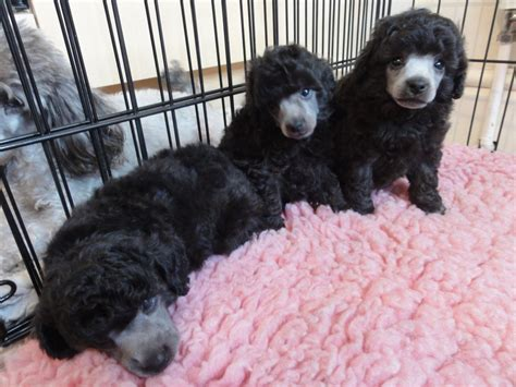 silver toy poodle breeders uk wow blog