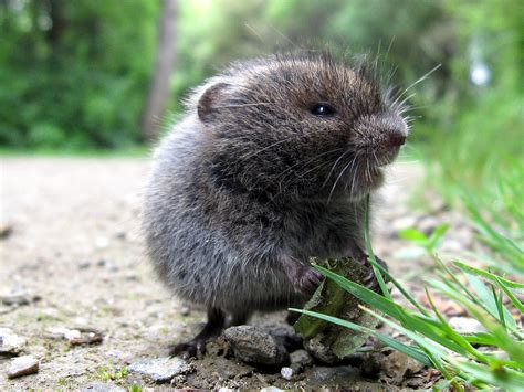 what is a vole meadow vole by manual crank