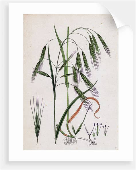 https://www.magnoliabox.com/products/bromus-sterilis-barren-brome-grass-lc311110-0143