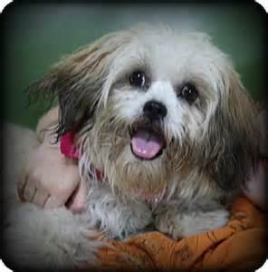 shih tzu rescue lhasa apso adopt dog breeds picture