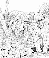 Coloring Gorillas Gorilla Mountain Forest Three Animals Printable Animal Colouring Wildlife Supercoloring Primate Adult Mammals Toy Clipart Drawings Fresh Unique sketch template