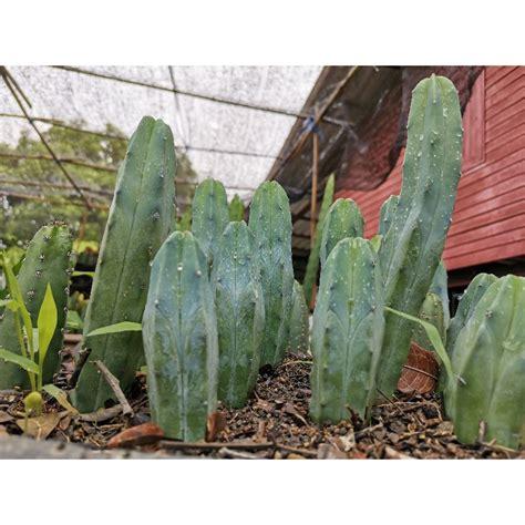 ตอบลู Cactus แคคตัส กระบองเพชร ไม้อวบน้ำ ไม้กราฟ ราคาถูก ...