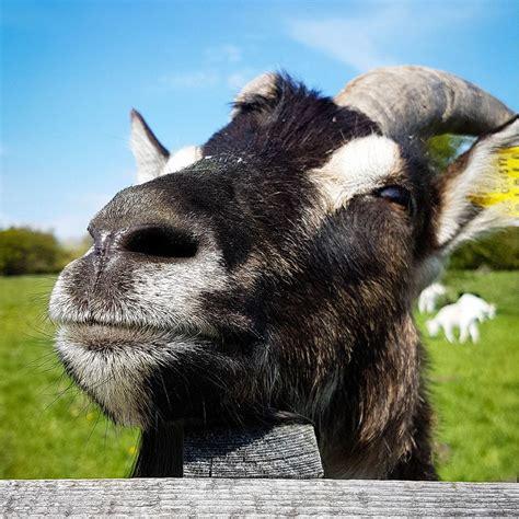 happy goat bilder und fotos creative commons