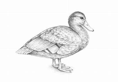 Duck Draw Mallard Drawing Female Step Drawings