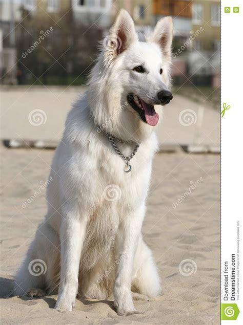 white shepherd stock image image  pedigree long mouth