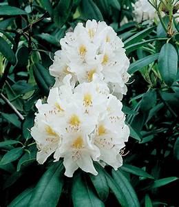 Weiß Blühende Sträucher : rhododendron wei bl hende str ucher bei baldur garten ~ Michelbontemps.com Haus und Dekorationen