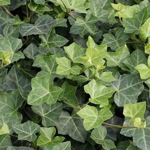 Efeu Pflanzen Kaufen : irischer efeu online kaufen bei g rtner p tschke ~ Buech-reservation.com Haus und Dekorationen
