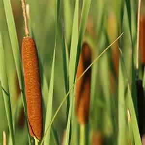 cat tails cattails hardy bog plants