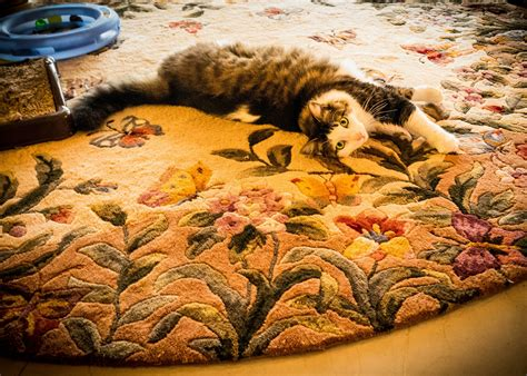 do maine coons shed their mane and all that fur how to reduce the shedding of your maine