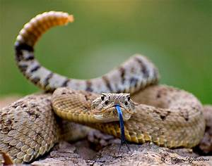 Reptile Facts - moreanimalia: The Great Basin Rattlesnake,...