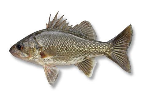 fish identification westag