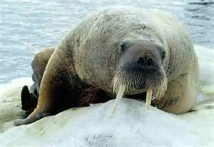 Facts About Walrus