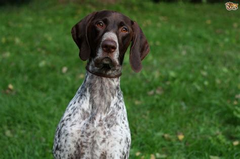 Australian Cattle Dog German Shorthair Pointer Mix Kamos T