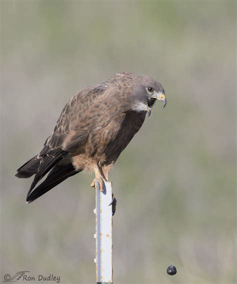A Few Recent Raptors Four Species Feathered Photography