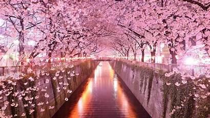 Sakura Wallpapers Android