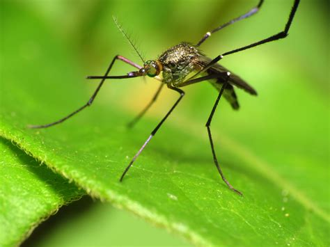 what is about mosquitoes file woodland mosquito 7469978464 jpg wikimedia commons