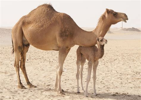 Camel Images Camels Hd Wallpapers High Definition Free Background