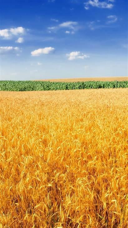 Wheat Field Golden 4k Wallpapers Iphone Widescreen