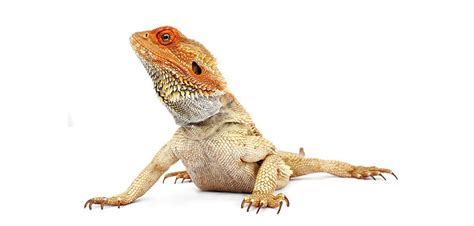 Backyard Reptiles by Lizards In The Backyard Vet Voice