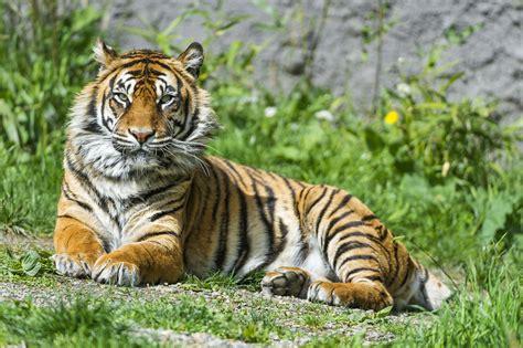 wallpaper sumatran tiger beautiful tigress female