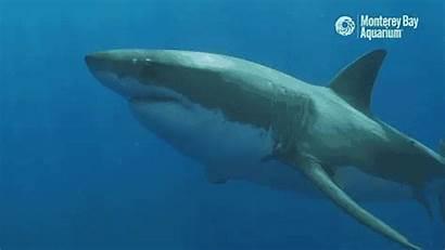 Shark Sharks Gifs Aquarium Giphy Animated Fin