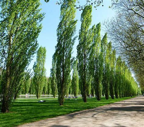 Picture Of Fastigiate Black Poplar Trees