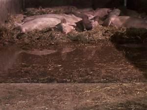 Animal Aid's undercover investigators reveal suffering at ...