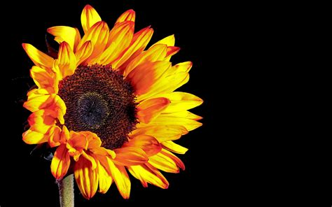 wallpaper sunflower photography black background