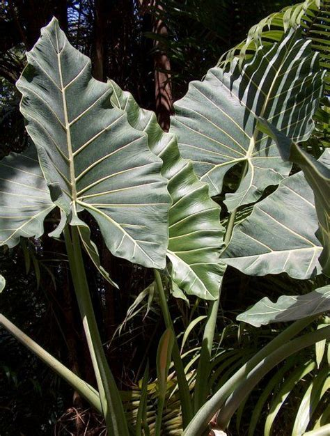 ~ dfsa ~ dragon fruit south africa. 17 Best images about Colocasia and Alocasia on Pinterest | Live plants, Sun and Tropical
