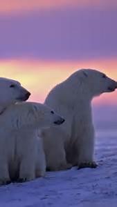 [40+] Polar Bear iPhone Wallpaper on WallpaperSafari