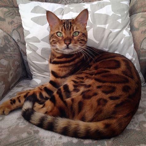 majestic bengal cat    mix   leopard   tiger