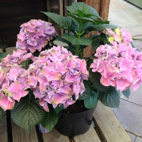 pot grown hydrangea hydrangea guide